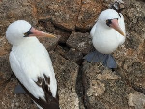 Two blue-footed boobies on Floreana Island in the Galapagos
