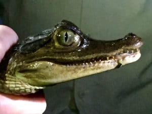 Closeup of a curious caiman being held in a human hand