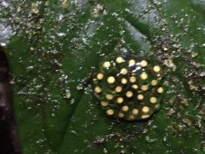 A frog egg sac on a leaf in the Ecuadorian forest