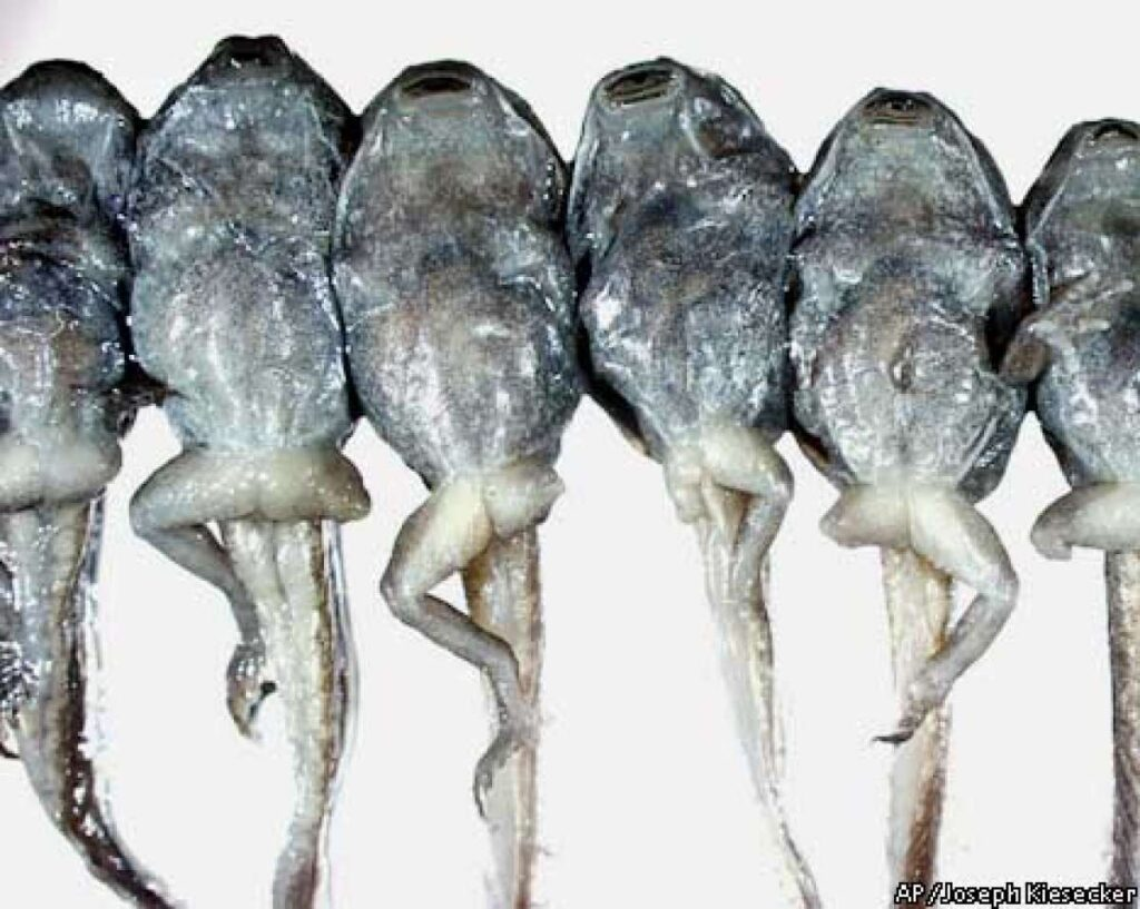 Picture of deformed frogs.