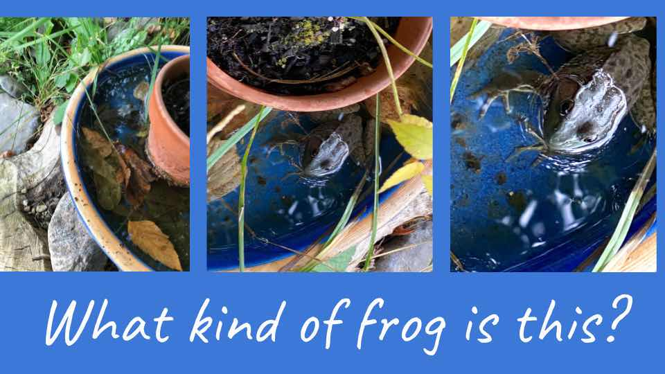 First Frogs in Our Own Backyard