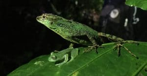 A green lizard stands behind a tiny frog on a leaf