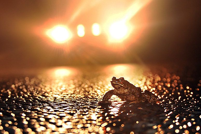 Picture of frog on street at night.
