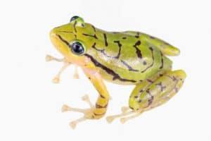 An Ecuadorian rain frog (Pristimansis ecuadoriensis) on a white background