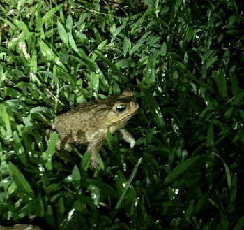Frog calls in the rainforest can sometimes sound like the dead spirits calling from their graves.