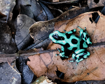 A green and black poison dart frog sits on a pale brown leaf.