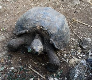 A tortoise on San Cristobal Island in the Galapagos