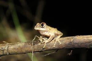 A night spirit frog of Ghana, sitting on a branch