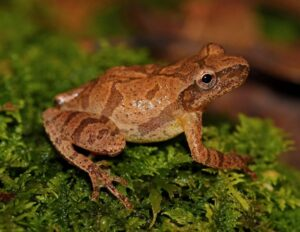 A spring peeper perches on mossy greens